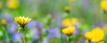 banner spring, summer background. wildflowers yellow blowers blue flowers Standard-Bild
