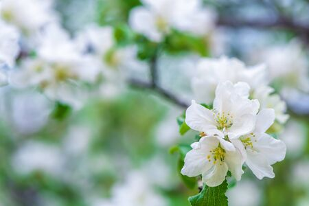 spring background white apple blossoms Фото со стока