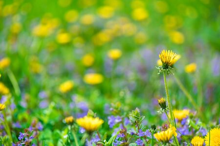 background wildflowers yellow blowers, blue flowers, grass Standard-Bild