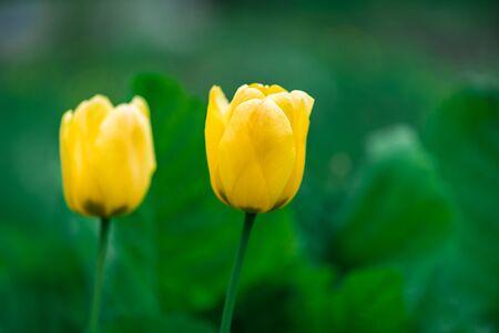 Two yellow tulips grow in the garden. Close Фото со стока