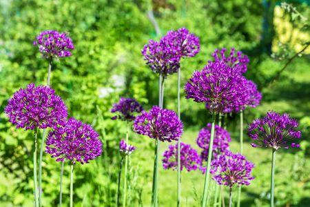 purple decorative onion in garden
