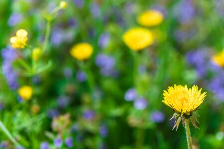 spring, summer background. wildflowers yellow blowers blue flowers