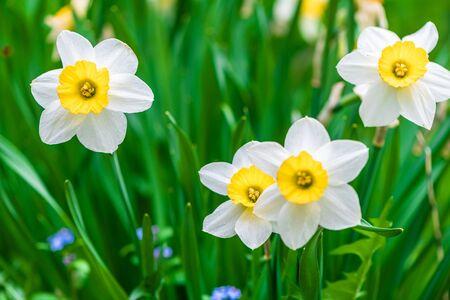 white flowers daffodil. gardening spring