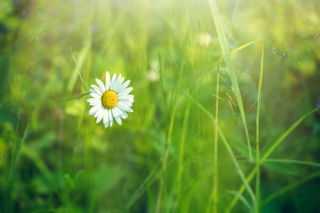 white beautiful daisy in the green grass. summer, spring 스톡 콘텐츠