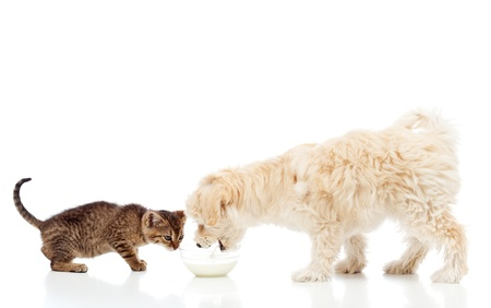 cat eating: Buddies at the feeding bowl - little dog and cat eating, isolated