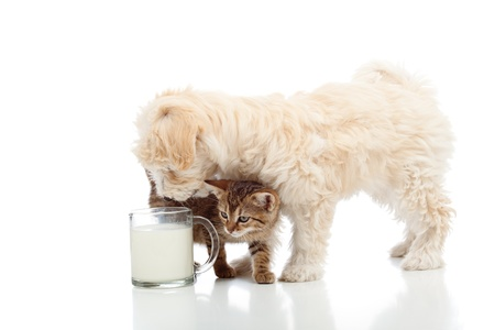Cat and dog feeding together - stalking the milk cup photo