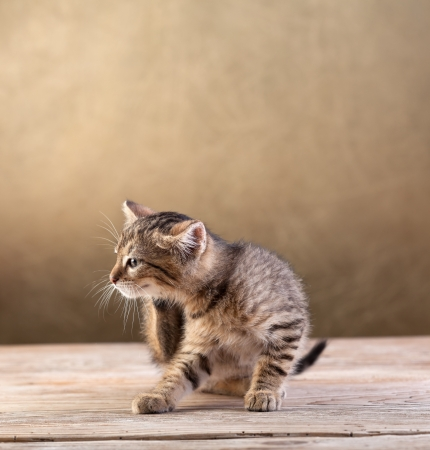 Small kitten sitting on old wooden floor scratching Zdjęcie Seryjne