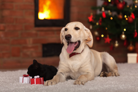 brown and black dog face: Family pets receiving gifts for Christmas - dog a kitten with small presents
