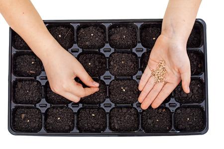 siembra: Manos jovenes de siembra semillas de hortalizas en la bandeja de germinación - el cultivo de alimentos, aislado Foto de archivo