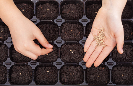 earth handful: Child hands spreading seeds into germination tray - spring sowing closeup