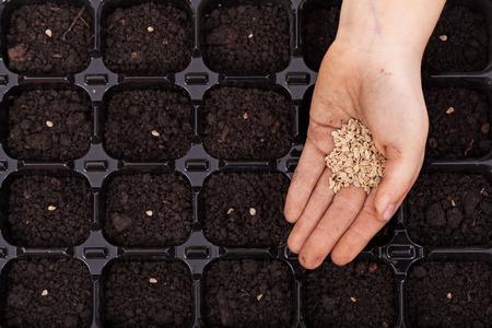 germinación: Extendiendo la mano semillas en la bandeja de germinación - siembra de primavera, primer plano