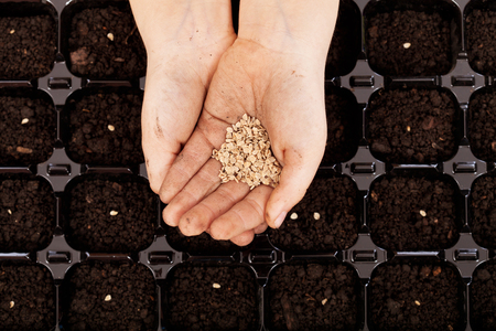 fertile: Child hands with seeds to be sowed in germination tray with dark fertile soil
