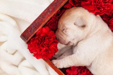 Newborn labrador puppy dog sleeping in wooden box with red carnation flowers - closeup Zdjęcie Seryjne