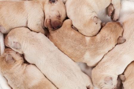 Bunch of yellow labrador puppies sleeping peacefully - closeup Zdjęcie Seryjne