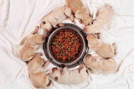 Newborn young yellow labrador puppy dogs sleeping around feeding bowl of their mother - top down view Zdjęcie Seryjne