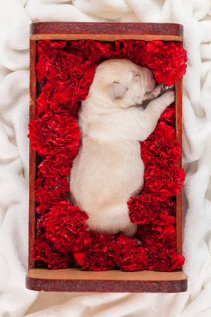 Cute labrador puppy dog sleeping in a box with flowers - top down view
