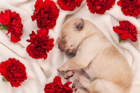 Cute newborn labrador puppy dog sleeping among red carnation flowers on white blanket