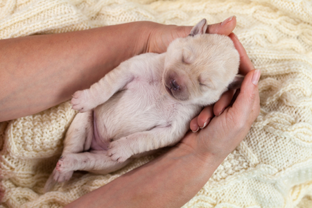 Woman gently holding a sleeping cute newborn labrador puppy dog - closeup on hands and doggy