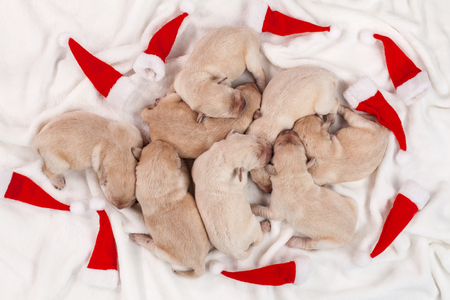 Christmas party dropouts - cute newborn labrador puppies sleeping with small xmas hats around - top down view