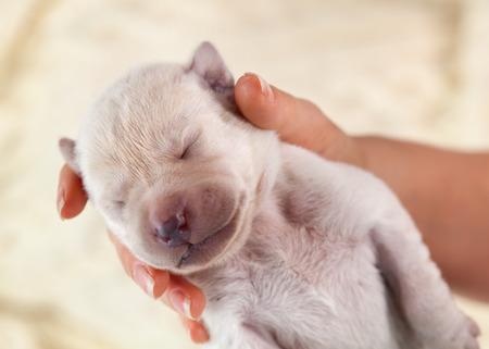 Newborn labrador puppy dog sleeping in woman hand on bright blurry background