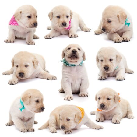 Labrador puppy dogs with colorful scarves in various positions on white background - lying, sitting, standing
