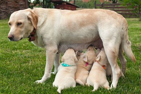 Cute labrador puppies suckling standing on their toes - with colorful scarves to tell them apart Standard-Bild