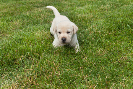 Young labrador puppy in the grass - scouting the surroundings