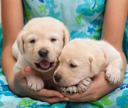 Young girl owner holding her adorable labrador puppies in her lap - closeup on hands and dogs