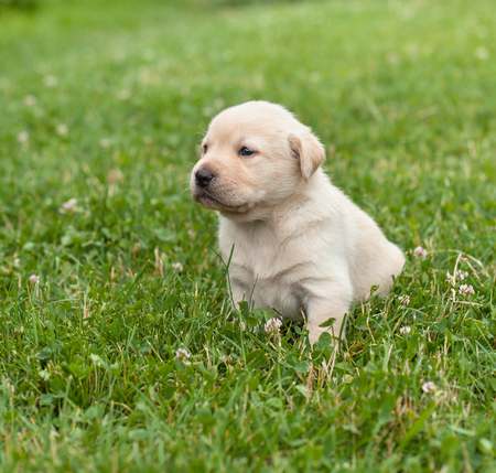 Young labrador puppy dog resting after a short walk in the grass - looking ahead