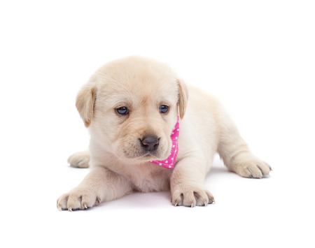 Adorable labrador puppy dog looking alert and curious - isolated on white surface