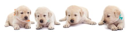 Young labrador puppies with colorful scarves lying on white background - resting, isolated