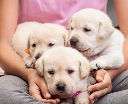Young girl holding three adorable labrador puppies in her lap - closeup on doggies and hands