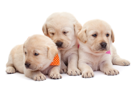 Three labrador puppy girls showing their adorable look with colorful scarves - cuddling up to each other
