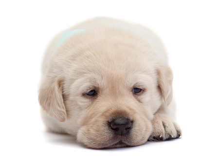 Sad and tired labrador puppy dog resting its head on paws looking with romantic eyes - isolated
