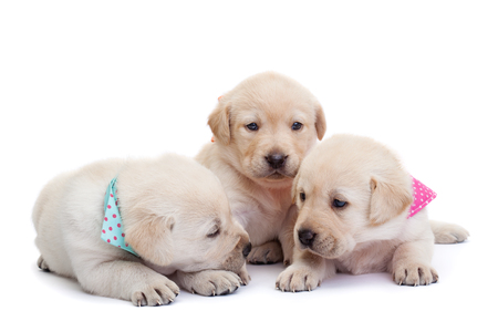 Adorable sleepy labrador puppies on white background - cuddling up to each other