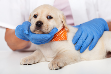 Young labrador retriever puppy at the veterinary doctor - being comforted, closeup