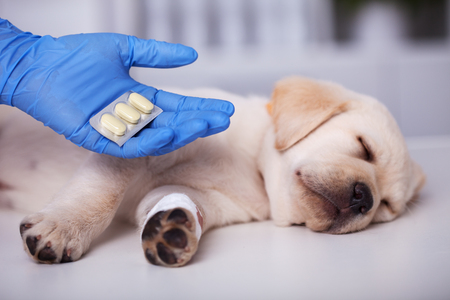 Cute puppy dog with bandage on its paw getting medication after treatment at the veterinary doctor