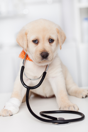 Cute labrador puppy dog with a bandage on its paw wearing a stethoscope - sitting on the examination table at the veterinary doctor office - closeup portrait