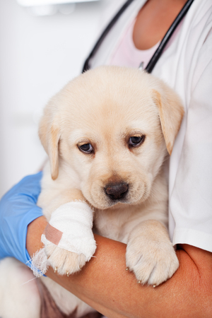 Cute labrador puppy dog in the arms of veterinary care professional - resting after examination Zdjęcie Seryjne