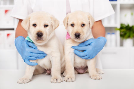 Two cute labrador puppies sitting on the table at the veterinary doctor office - the healthcare professional hugging them from behind