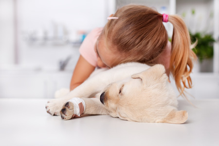 Little girl hugging her injured labrador puppy dog lying on the examination table at the veterinary doctor office