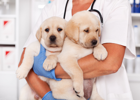 Cute labrador puppy dogs in the arms of veterinary healthcare professional - getting ready for their first vaccine Zdjęcie Seryjne