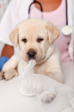 Cute labrador puppy dog portrait at the veterinary doctor office - playing with a bandage strip roll
