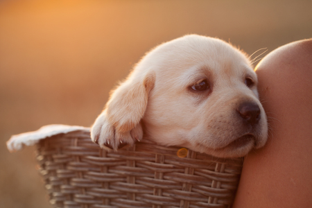 Adorable labrador puppy dog in a basket leaning against the shoulder of her owner - backlit, closeup Stock Photo