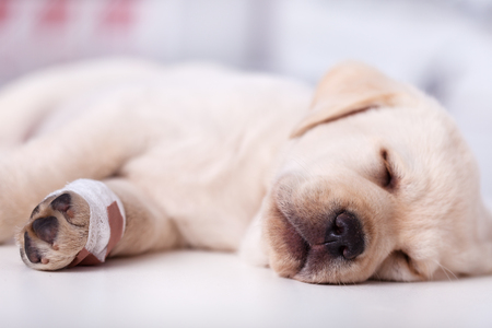Cute labrador puppy dog with injured leg sleeping - closeup, shallow depth Imagens