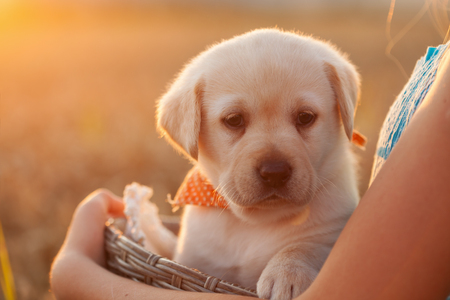 Cute young labrador puppy dog in a basket held by owner hands - closeup, backlit by setting sun