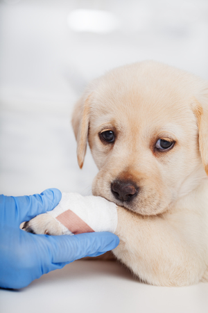 Sad labrador puppy dog with bandage on its paw helped by the hand of veterinary care professional - closeup Zdjęcie Seryjne