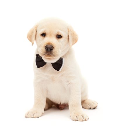 Serious labrador puppy dog with bow tie means business - cute doggy sitting, isolated on white