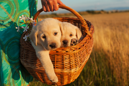 Two adorable labrador puppy dogs in a basket - woman hands carrying them outdoors, closeup