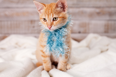 Cute ginger kitten dressed for winter, sitting and looking to side wearing a blue fluffy scarf Stock Photo - 119077136